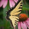 Tiger Swallowtail<br /> Wes Kiel