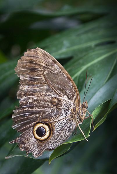 Lesser Owl Butterfly<br /> Wes Kiel
