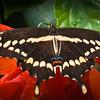 Palamedes Butterfly Swallowtail<br /> Wes Kiel