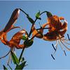 Tiger Lily<br /> Linda Waycie