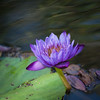 Water Lily<br /> Nora Liu