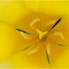 Yellow Tulip<br /> Dave Waycie