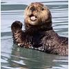 Sea Otter Waving<br /> Tom Mulick