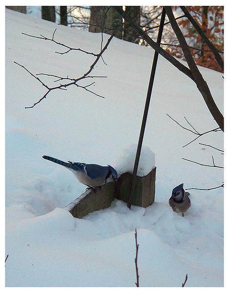 Winter Blue Jays<br /> Ken Kendzy