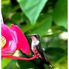 Humming Bird<br /> Ken Kendzy