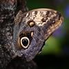 Owl Butterfly<br /> Wes Kiel