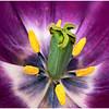 Heart of Tulip<br /> Irene Szilagyi
