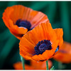 Poppies in the Garden<br /> Greg Pickle