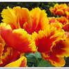 Tulip Lane<br /> Eleanor Goss
