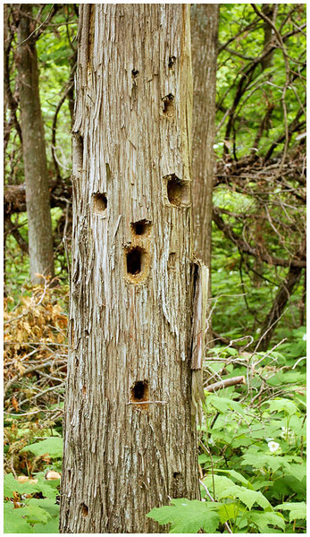 Tree With a Face<br /> Bob Ungar