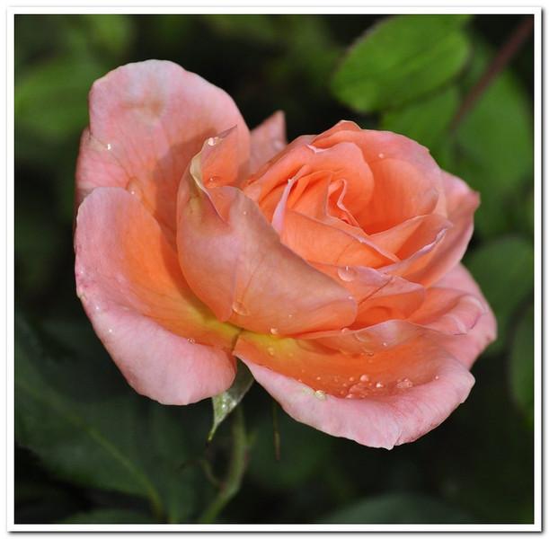 Peach Rose<br /> Eleanor Goss