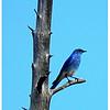 Western Bluebird<br /> Ken Kendzy