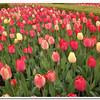 Tulip Bed<br /> Eleanor Goss