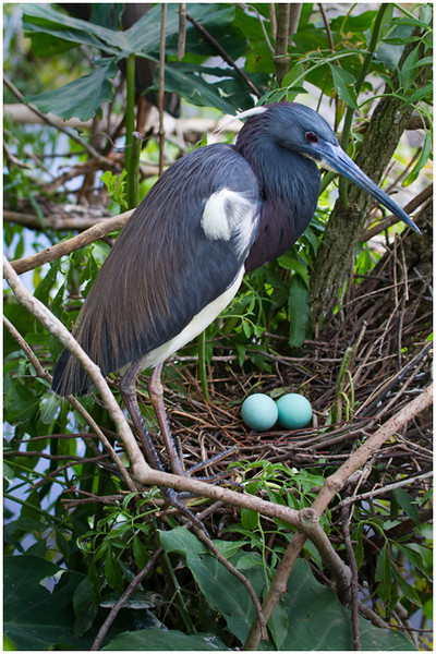 Watching the Eggs<br /> Tom Mulick