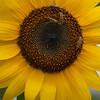 Sunflower Lunch<br /> Tom Vincent