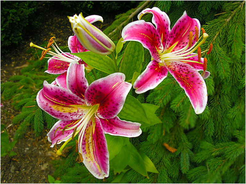 Blooming Lilies<br /> Irene Szilagyi