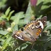 Butterfly<br /> Bob Erickson