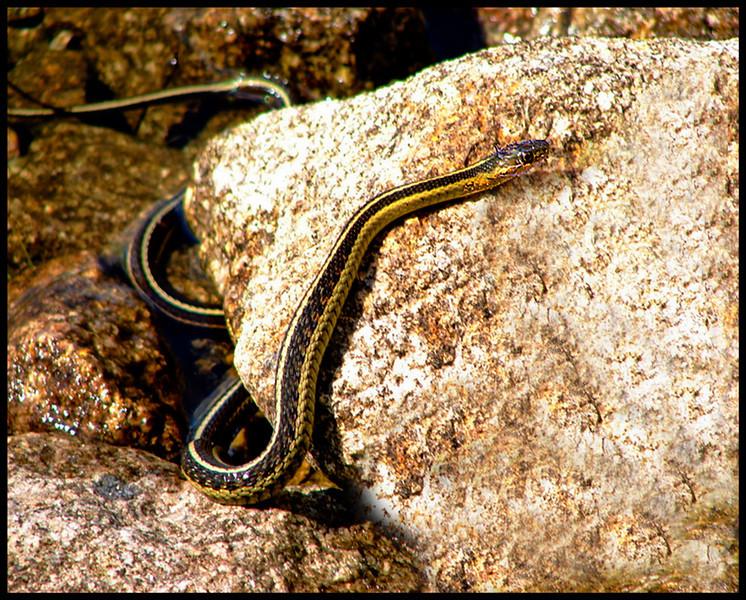 Canada Snake<br /> Ken Black