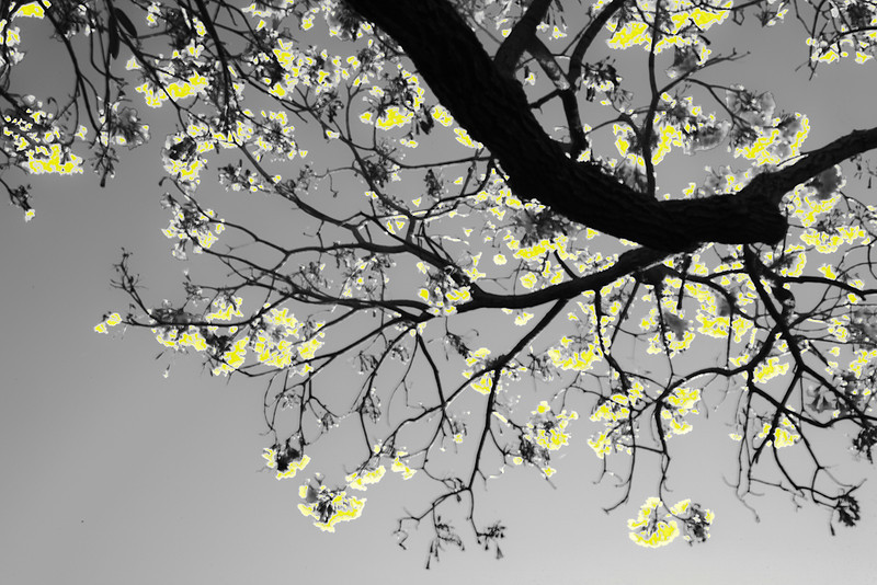 Tabebuia Caraiba in the Spring<br /> Nora Liu