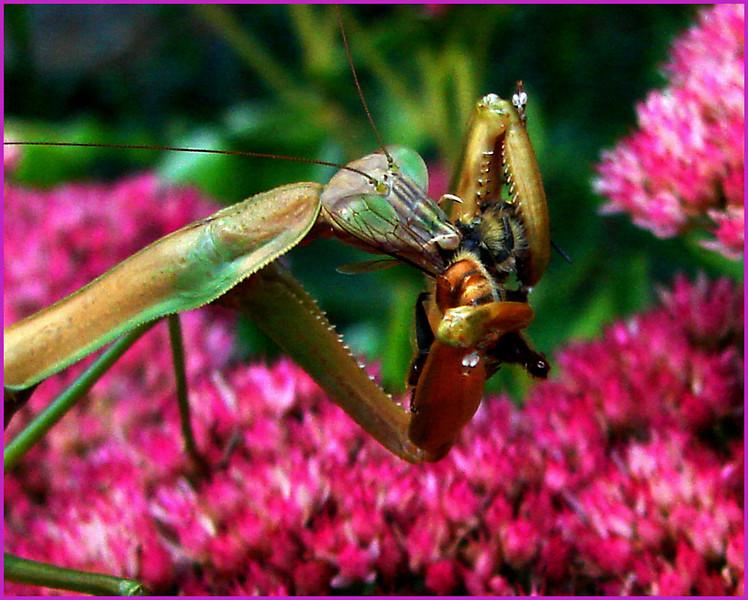 Hungry Praying Mantis<br /> Ken Black