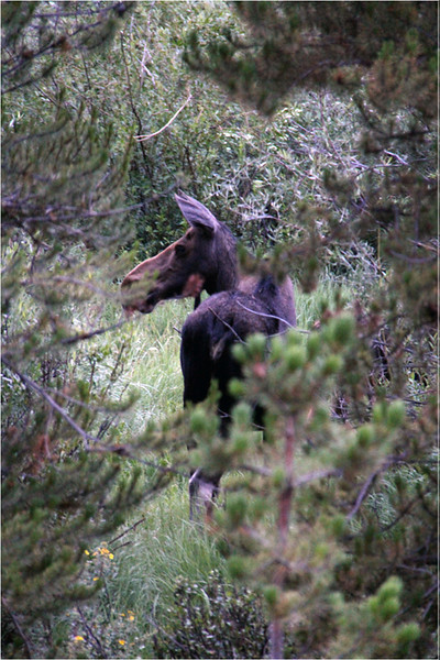 Adult Moose<br /> Kathy Gazollo