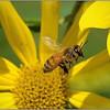 Depth of Field Bee<br /> Sue Lindell