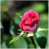 Knockout Rose<br /> Robert Wallace