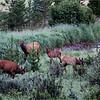Elk Family<br /> Kathy Gazollo