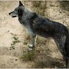 An Attentive Gray Wolf - Wes Kiel