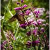 Feeding Hummingbird - Patricia Kiel