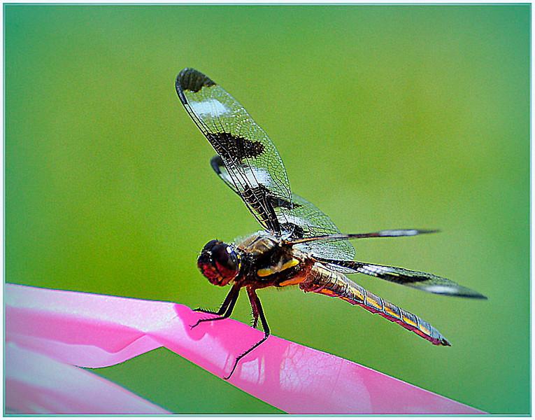Ribbon Bug - Robert Wallace