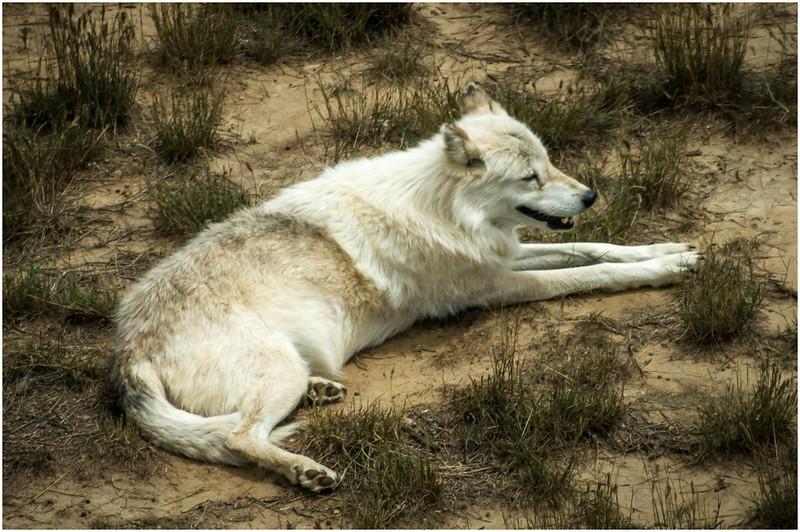 Resting White Wolf - Wes Kiel