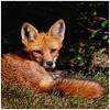 Backyard Fox - Jerry Hug