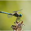 Resting Dragon Fly - Scott Hansen