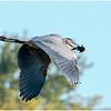 Heron Lunch on the Wing - Scott Hansen