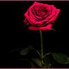 Memorial Rose - Gary Taylor