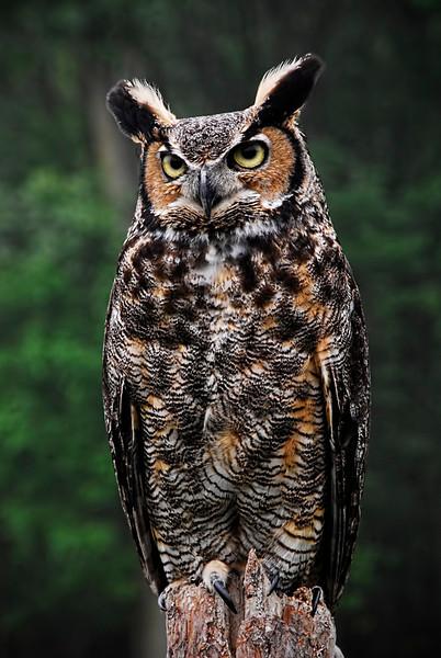 Owl - John Kowalyk<br /> DPI - February 2012
