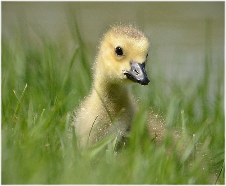 Curious Gosling - Sue Lindell<br /> Image of the Month - December 2013