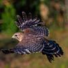 Red Shoulder in Flight - Tom Mulick
