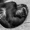 Gorilla Power Nap