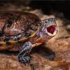 Roar of the Turtle