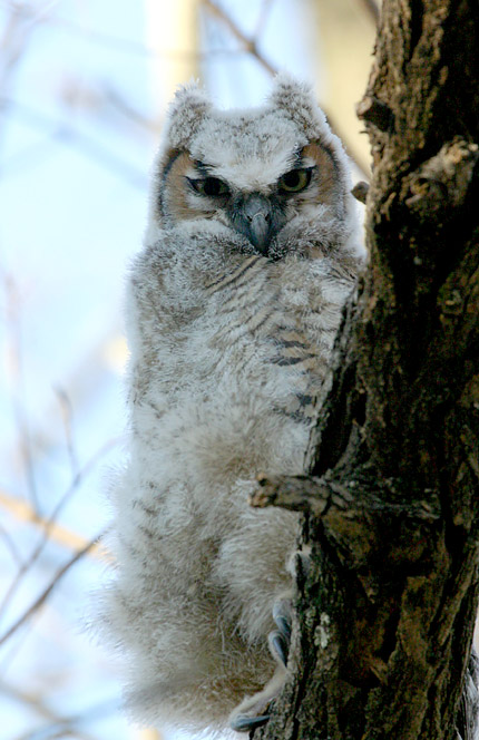 Great-horned Owlet @ Highbanks Metro Park - April 2005<br /> <br /> By Bruce