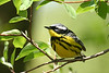 """Magnolia Warbler"" @ Magee Marsh WA<br /> <br /> Animal Catagory - Won 1st Place<br /> Photo by Bruce"
