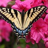 Insects and Flowers-B-HM-Jim Davis-Spread your Wings