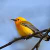 "Advanced Ohio Native Animals Catagory<br /> ""Prothonotary Warbler""<br /> By Bruce"