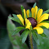 "Native Ohio Plants Catagory - Honorable Mention<br /> ""Susan's Unfolding Beauty""<br /> By Kelly<br /> (Black-eyed Susan)"