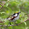Advanced Ohio Native Animals Catagory - 3rd place<br /> Chestnut-sided Warbler<br /> By Bruce