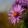 "Metro Parks People Places and Things Catagory<br /> ""New England Aster""<br /> By Kelly"