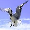 Magazine Photography-B-HM-Pamela Wandrey-Seagulls, A Study in the Magic of Flight
