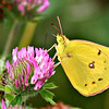 Clouded Sulfur<br /> By Kelly<br /> Native Ohio Animals Category